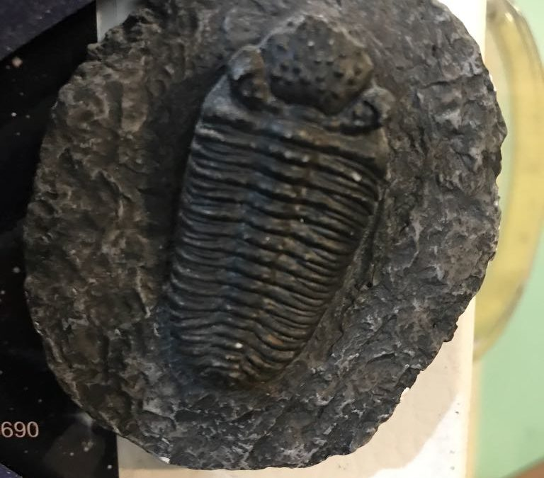 20-06-16_18:55:17.17 Partially faked, Devonian trilobite from Morocco, Phacops