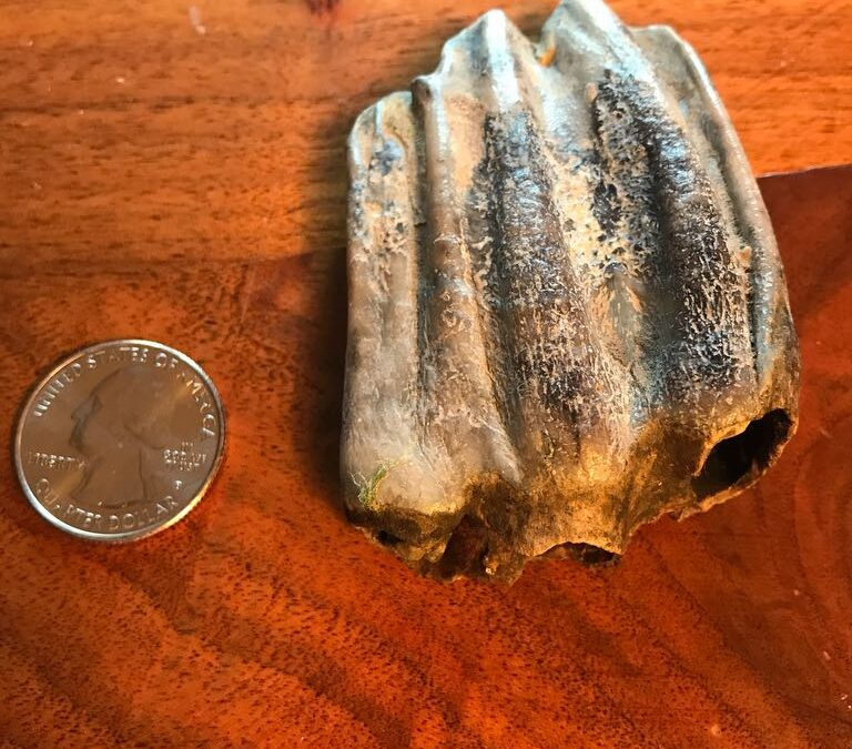 Fossil mammal tooth