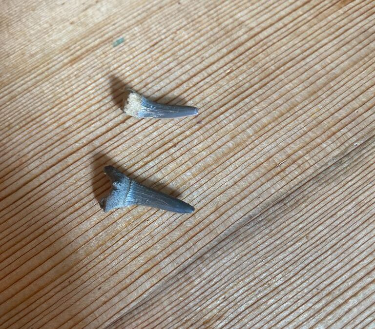 Shark teeth, one on bottom = Alopiidae