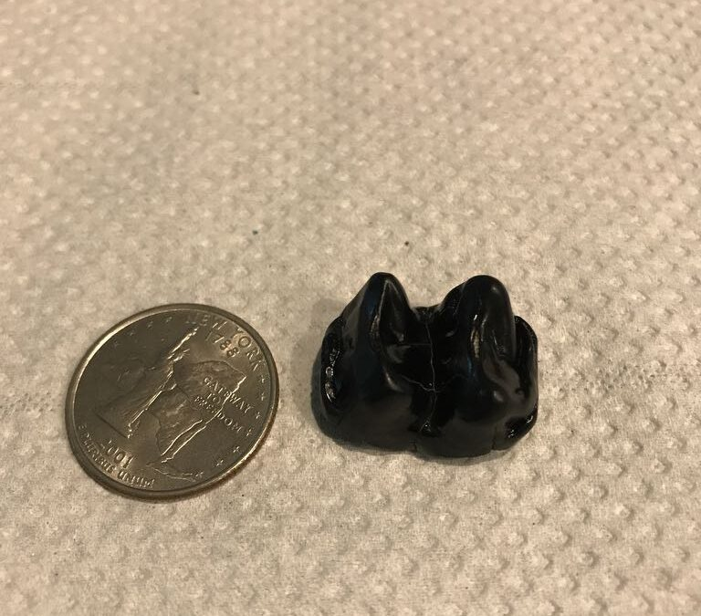 Mammal tooth