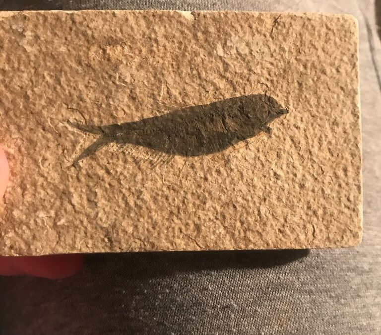Fossil fish, maybe Knightia, from Eocene Green River Formation